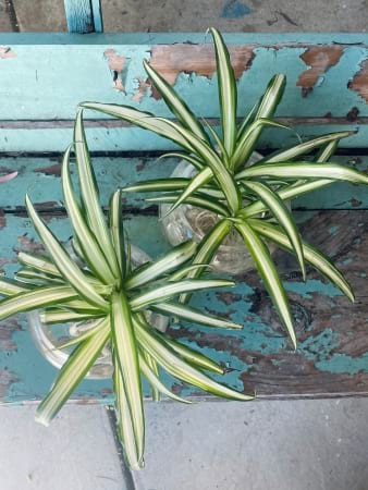Bare-rooted Spider Plant