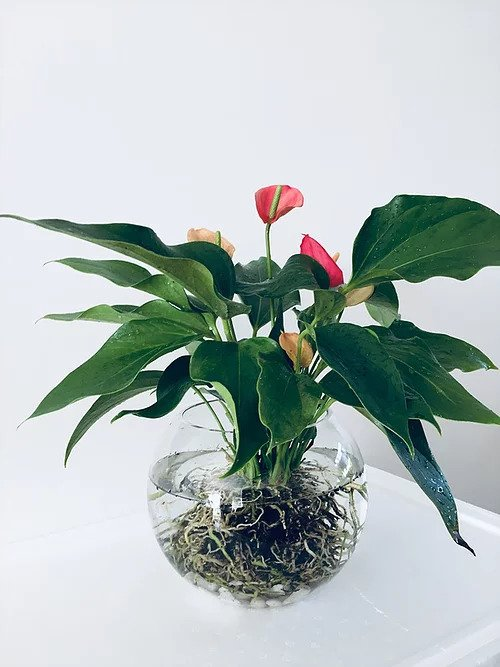 Bare-rooted Anthurium